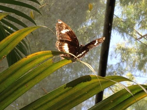 Thailand, laos, butterflies, mariposas